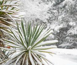 Yucca Palme Schnee Winter