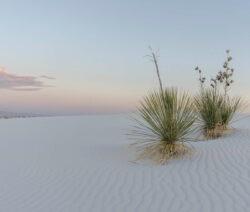 Yucca Palme Wüste 2