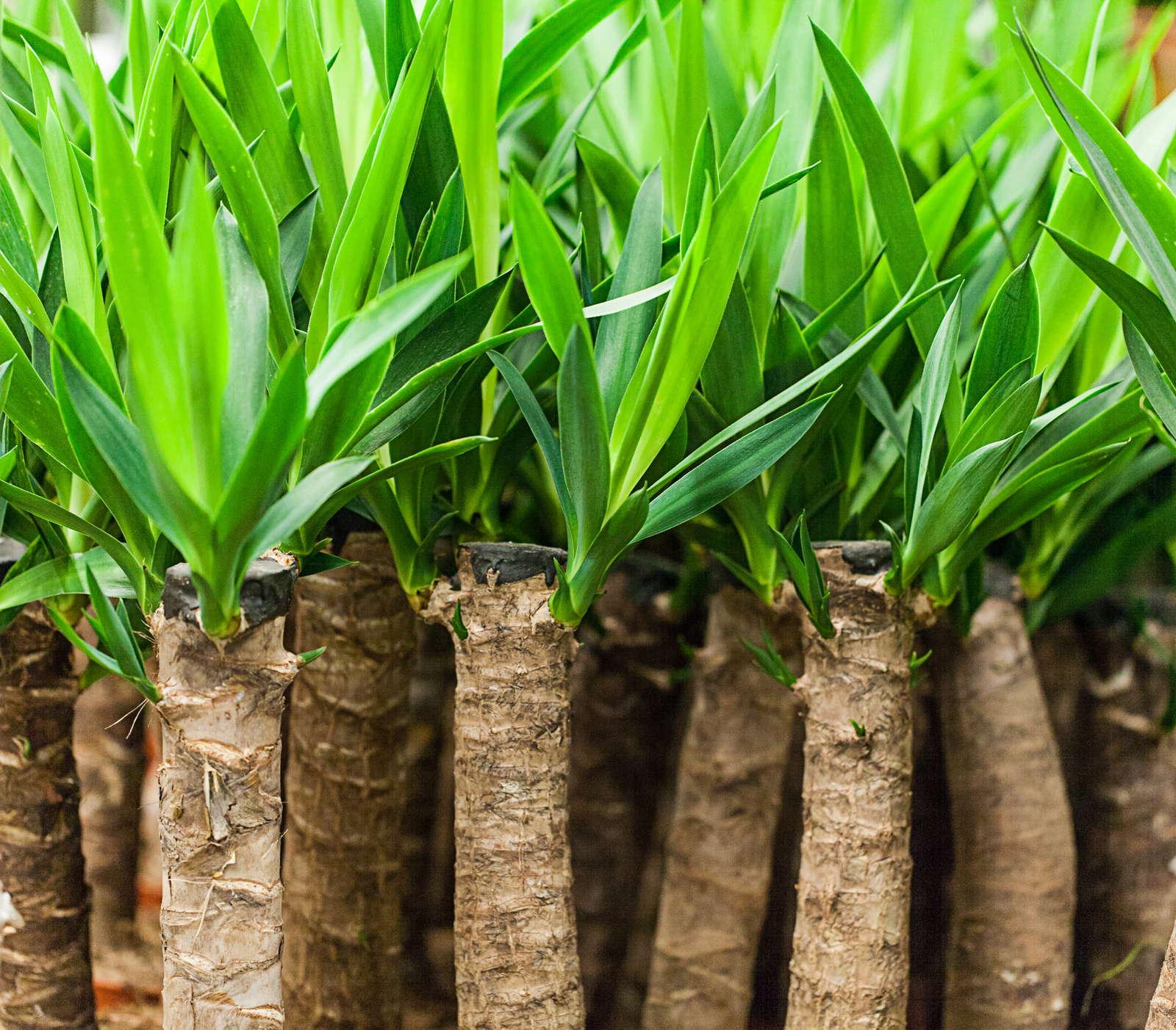yucca palme pflege vermehren schneiden berblick plantura. Black Bedroom Furniture Sets. Home Design Ideas