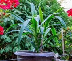 Yucca Elephantipes Palme In Topf