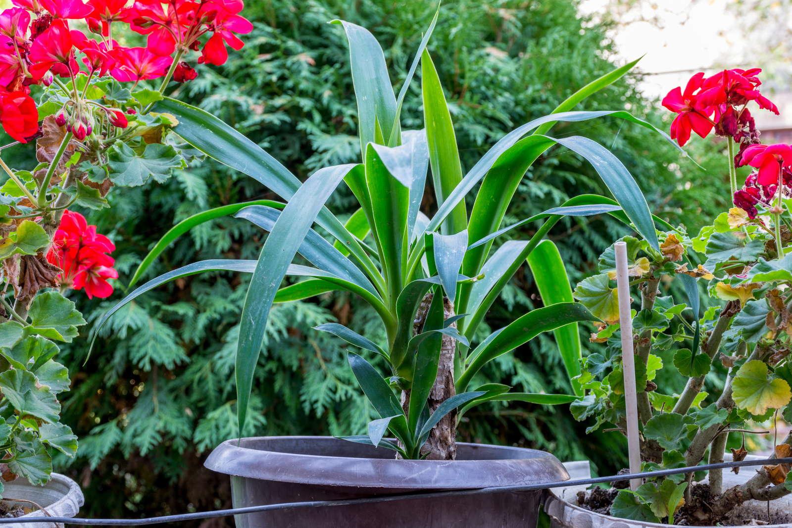 Yucca-Palme: Richtig Pflegen & Abschneiden