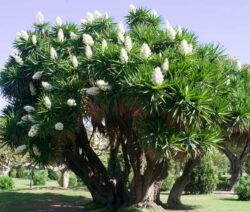 Yucca Gigantea Riesen Yucca Palme