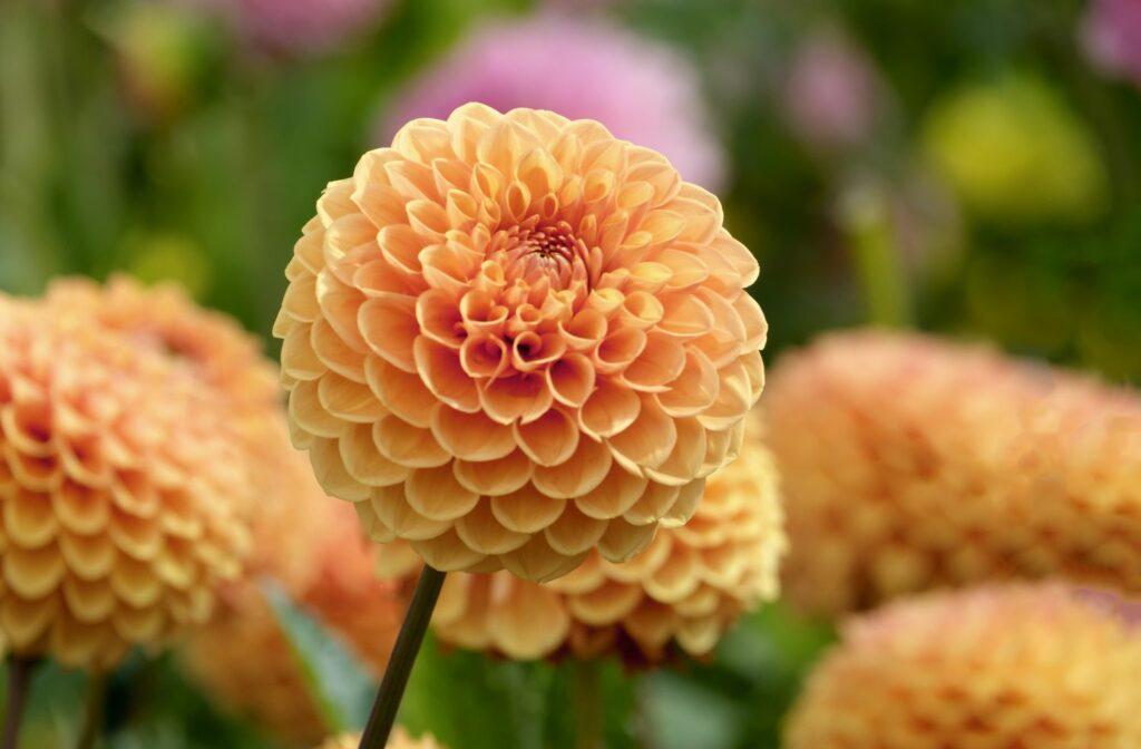 Blüte einer Ball-Dahlie