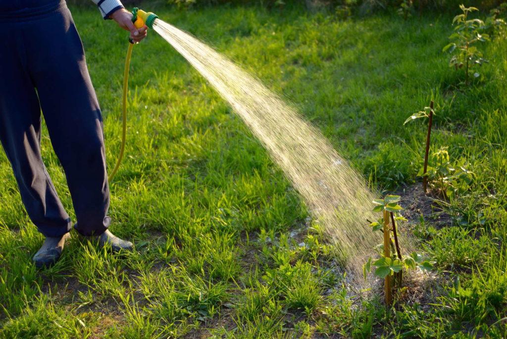 Brombeeren werden mit dem Gartenschlauch gegossen