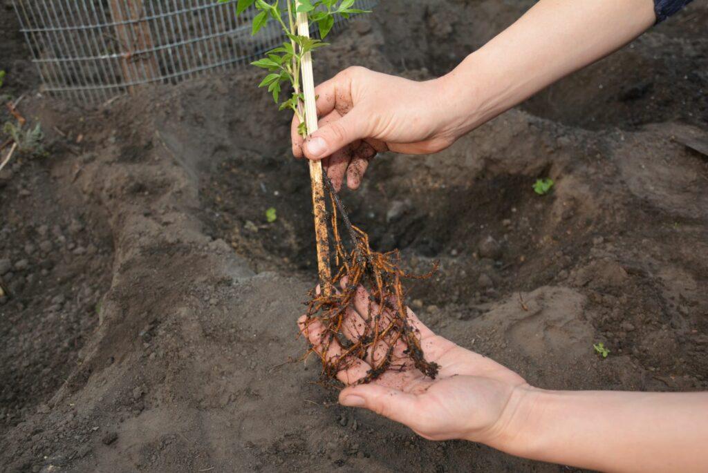 Einpflanzen einer Clematis