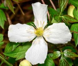 Clematis Montana Grandiflora Weiße Blüte