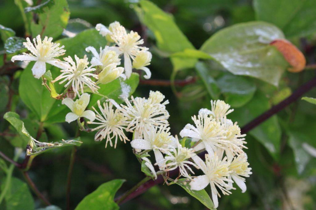 Clematis Vitalba mit weißen Blüten