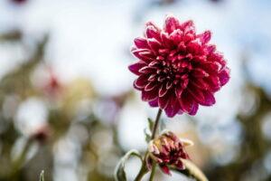 Dahlie Mit Frost An Den Blüten