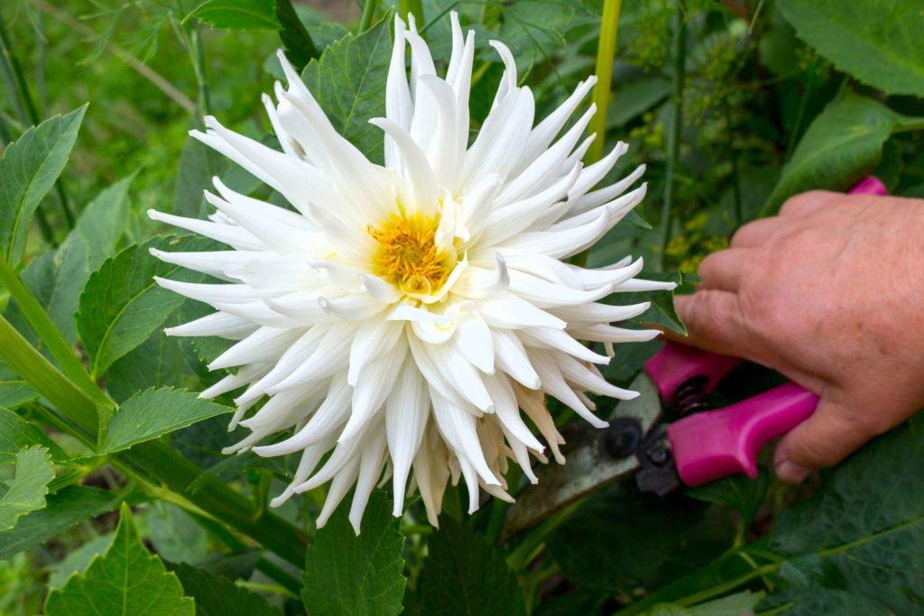 Weiße Blüte der Dahlie wird abgeschnitten