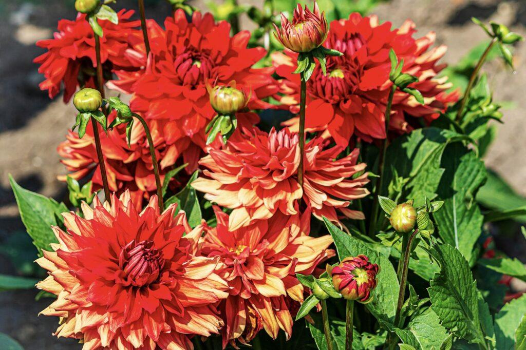 rote Dahlien-Blüten