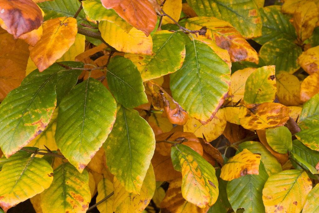 fagus sylvatica Buchenhecke Herbst