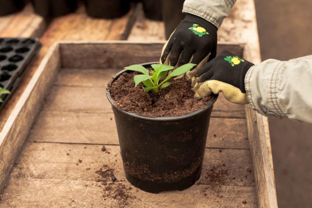 junge Dahlie in Topf pflanzen