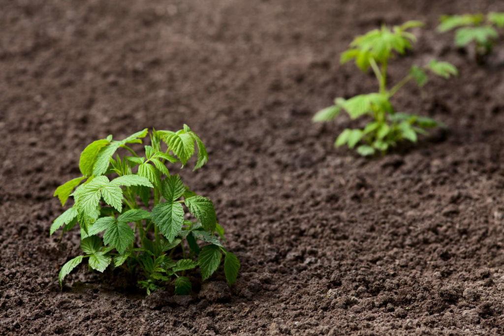 kleiner Himbeerstrauch pflanzen