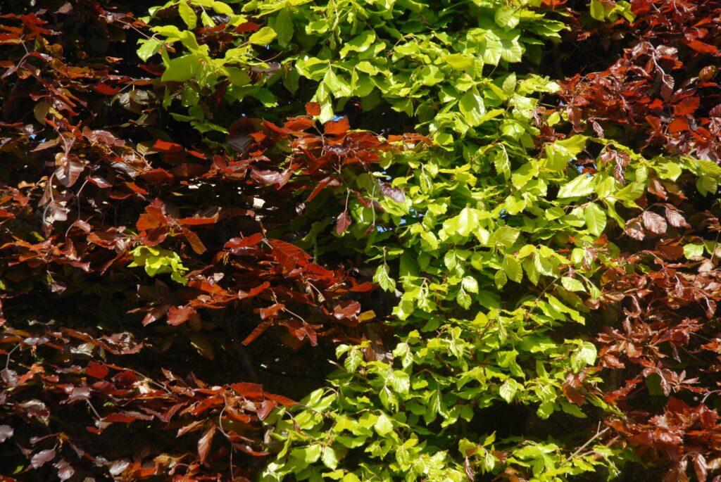 Grün-rote Buchenhecke