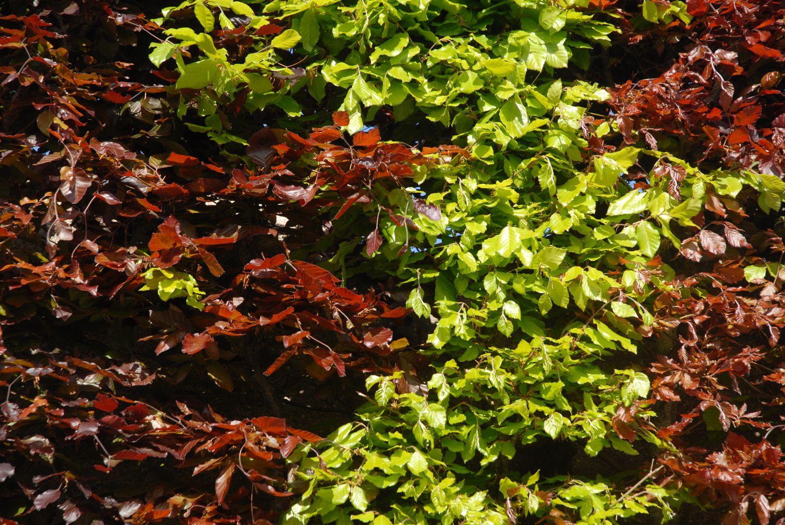 Rotbuchenhecke Pflanzen