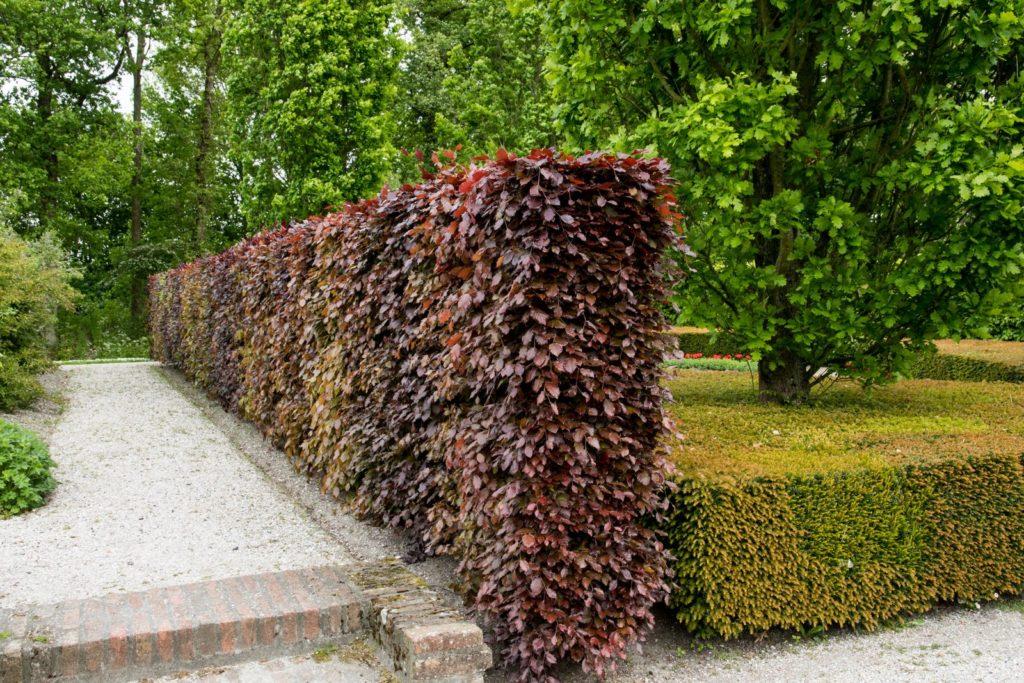 Rotbuchenhecke in einem Garten