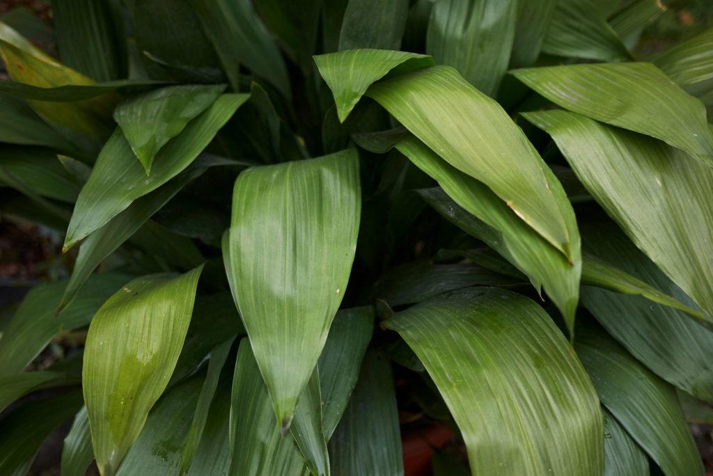 Blätter der Schusterpalme