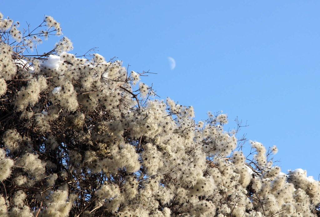 weiße flauschige Clematis Samen im Winter