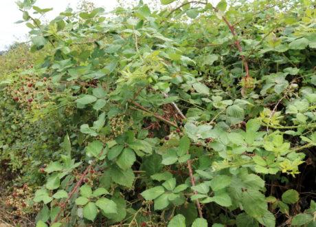 Wilde Brombeere Busch Plage Vernichten