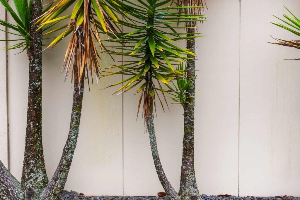 Yucca Palme mit grünen und braunen Blättern