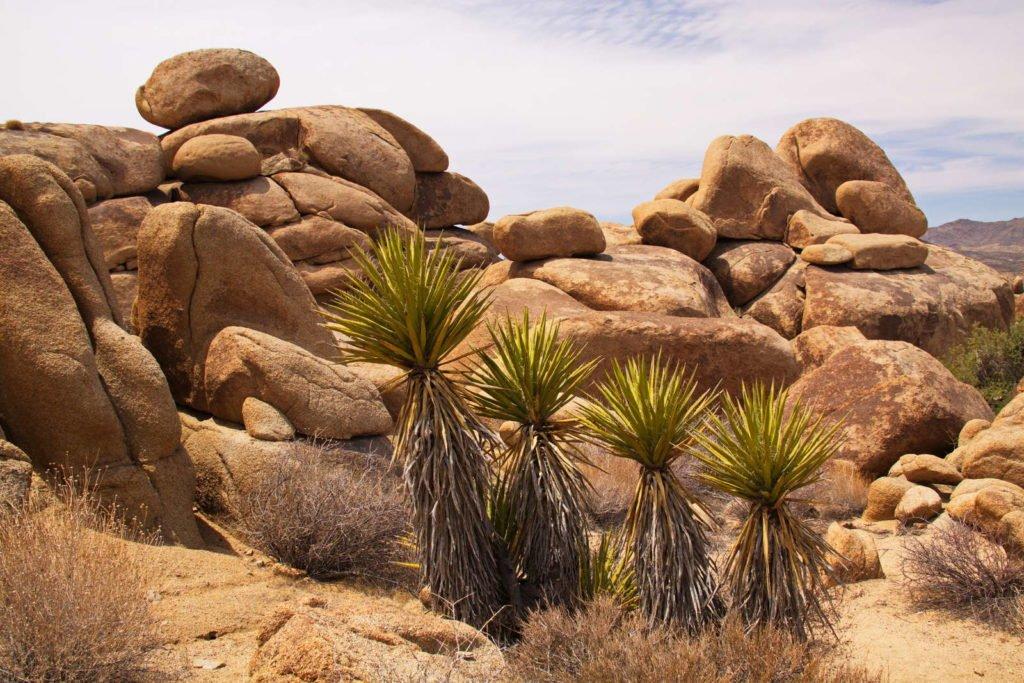 Yucca Palmen in der Wüste