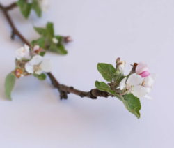Apfelzweig Befallen Von Rüsselkäfer Schädling Apfelblüte