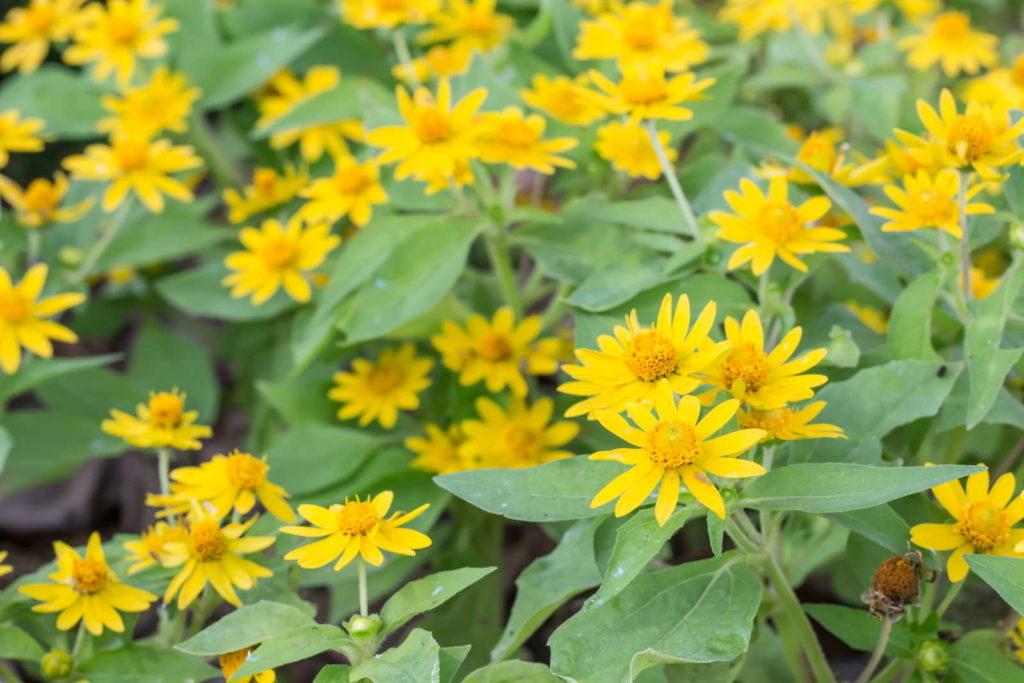 Arnika Heilpflanze gelbe Blüten