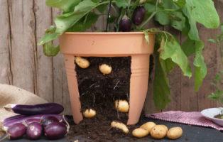 Aubertoffel: Aubergine & Kartoffel In Einer Pflanze (Video-Anleitung)