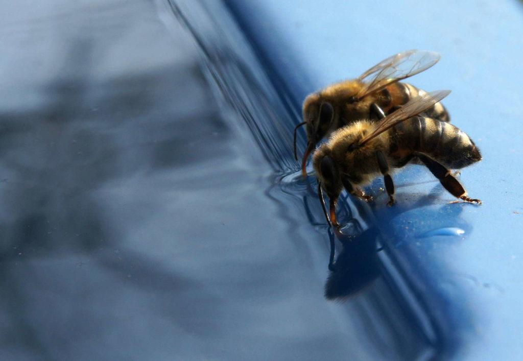 Bienen trinken Wasser
