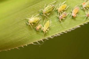 Blattläuse Auf Blatt Grün Schädlinge