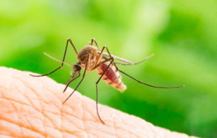 Blutsaugende Aedes Aegypti Mücke Insektenstich