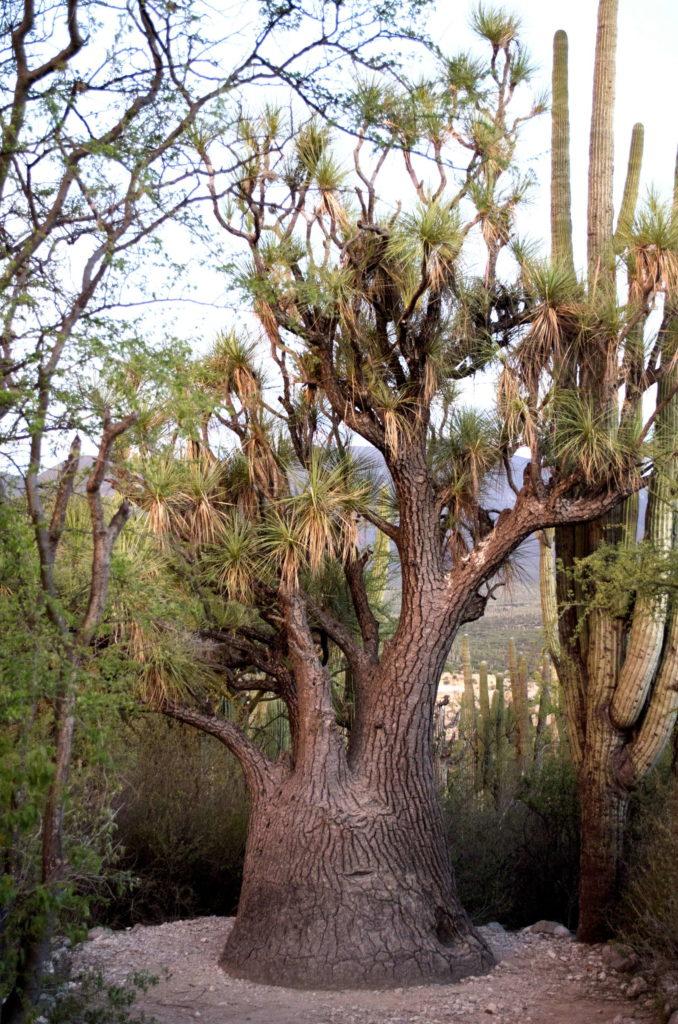 Elefantenfuß Palme in Wüste Mexiko
