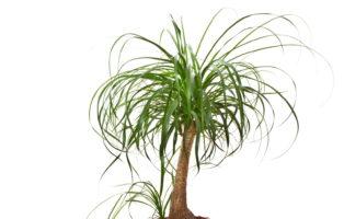 Elefantenfuß Zimmerpflanze Palme Weißer Hintergrund