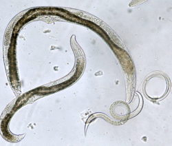 Entomopathogenic Nematoden Nützling Gegen Rüsselkäfer