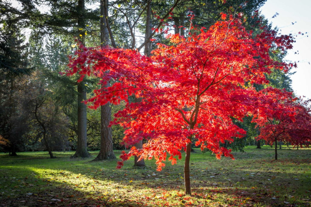 Fächerahorn rot