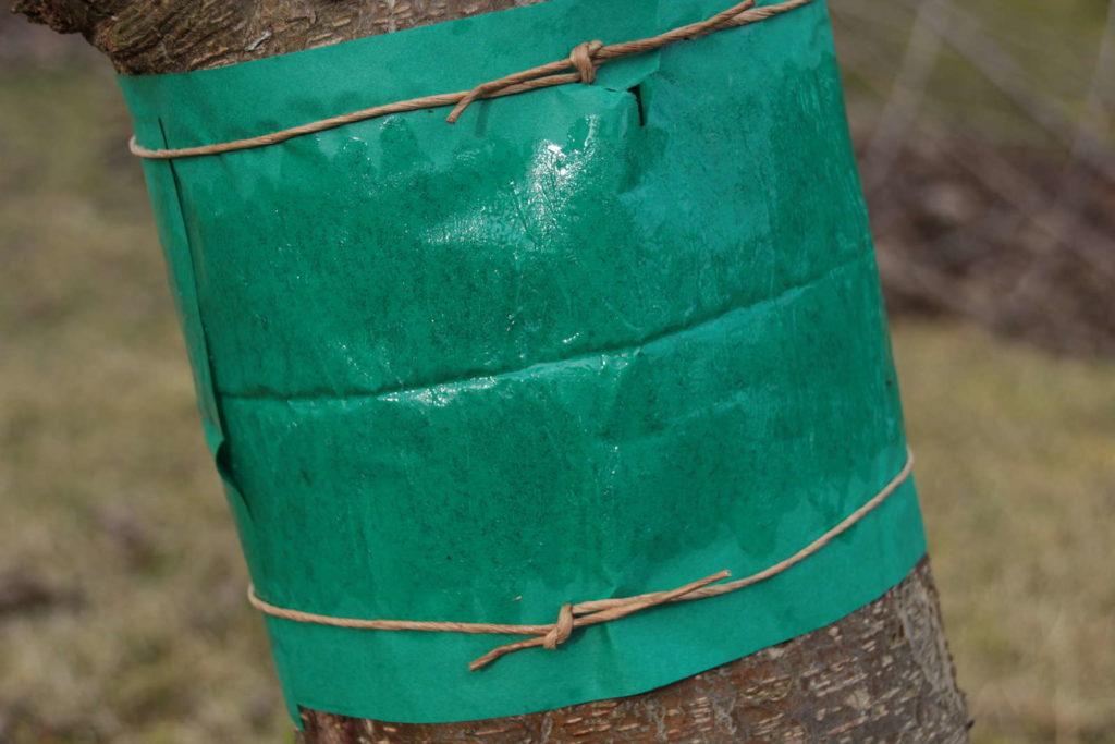 Falle für Motten Schädlinge an Baum Leimring
