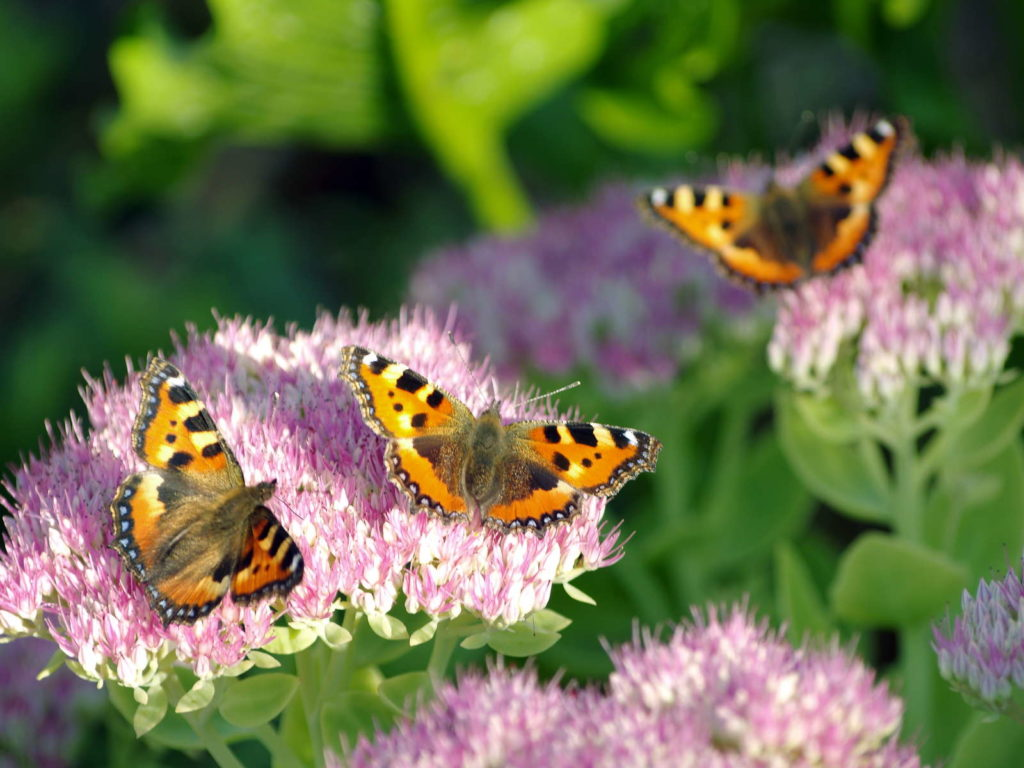 Fetthenne mit Schmetterlingen pflanze garten