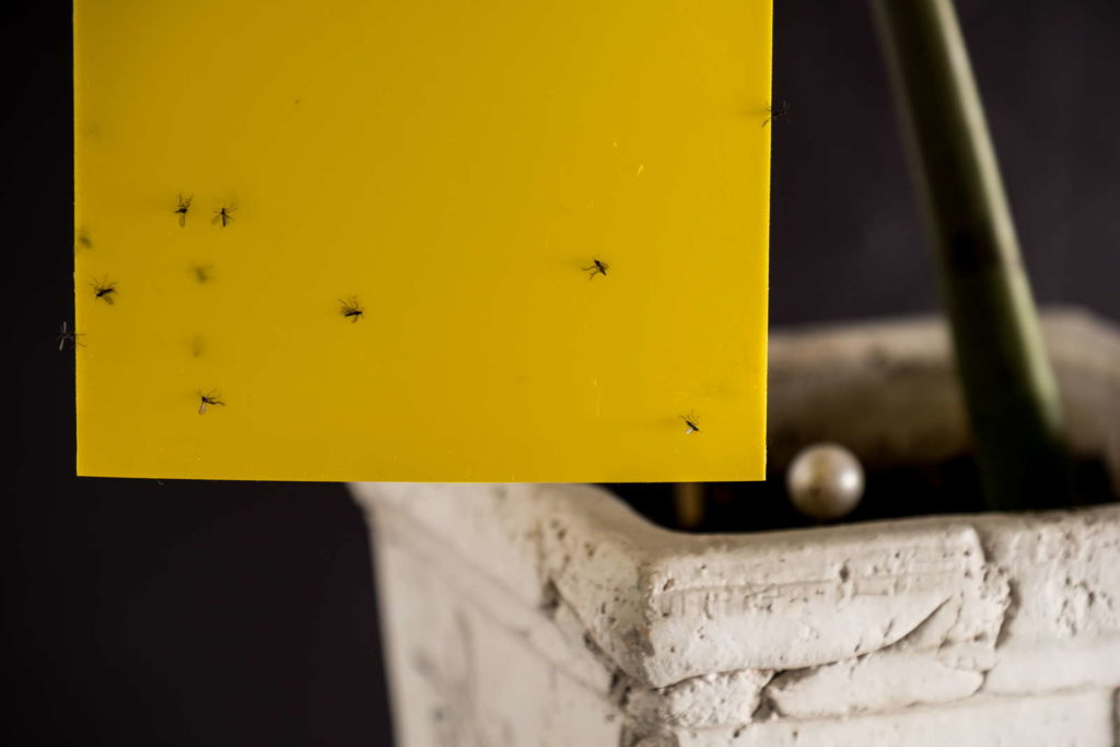 Fliegenfalle Papier Obstfliegen fangen
