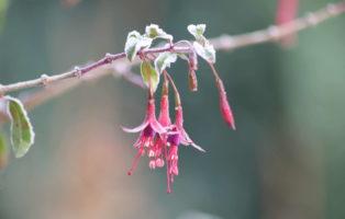Fuchsien Blüten An Ast Frost Winter