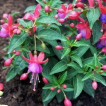 Fuchsien Im Beet Pflanzen Blüte Pink Lila