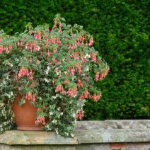 Fuchsien Im Topf Anpflanzen Im Garten