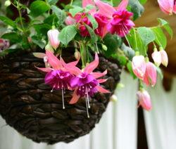 Fuchsien In Hängekorb Pflanzen