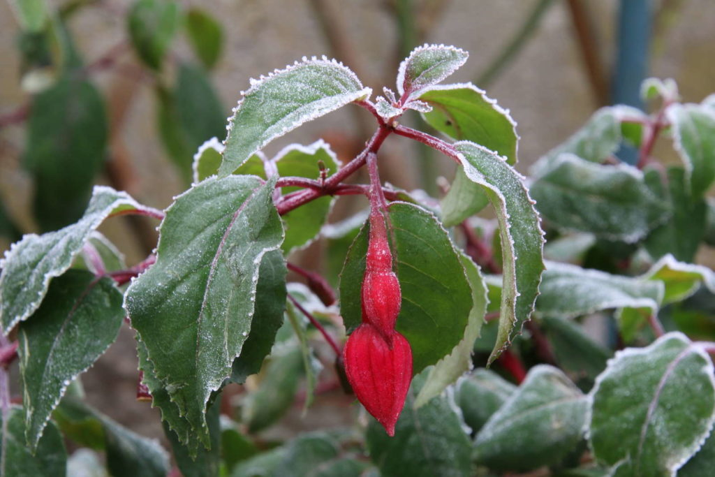 Fuchsien rote Blüte Frost