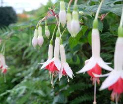 Fuchsiensorte Boliviana Weiß Rosa Blüten Hängend