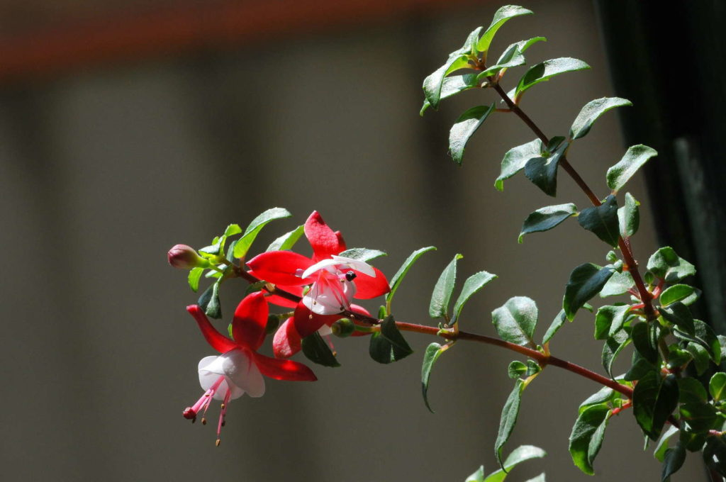 Fuchsiensorte Shadow Dancer Betty rote Blüte stehend
