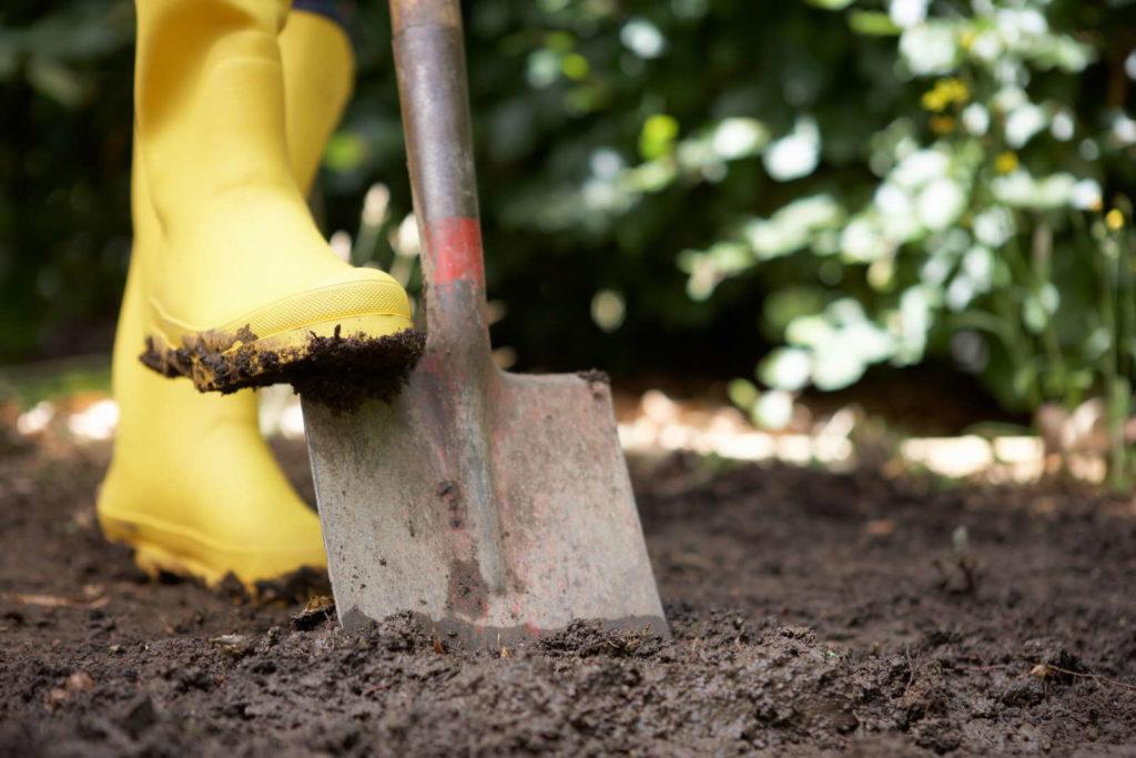 Garten umgraben mit Spaten Rhabarber Beet