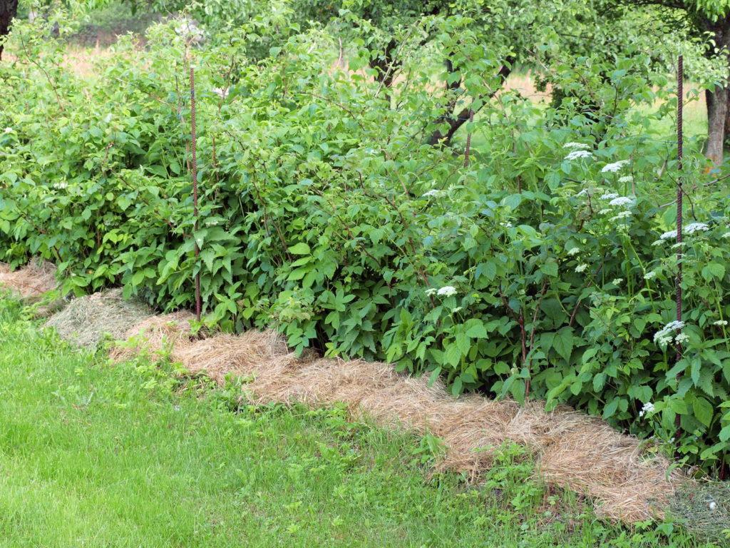 Klettergerüst Für Himbeeren : Tipps für leckere himbeeren aus eigenem anbau plantura