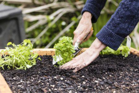 Petersilie einpflanzen in Erde beim Hochbeet