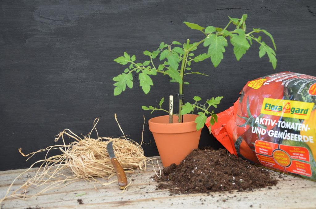 Holzstecken-Tomate im Topf