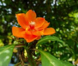 Kakteen Arten Pereskia Grandifolia Haw